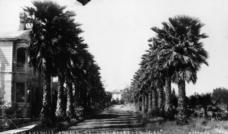 The Oldest Palm Trees in Los Angeles (4/6)