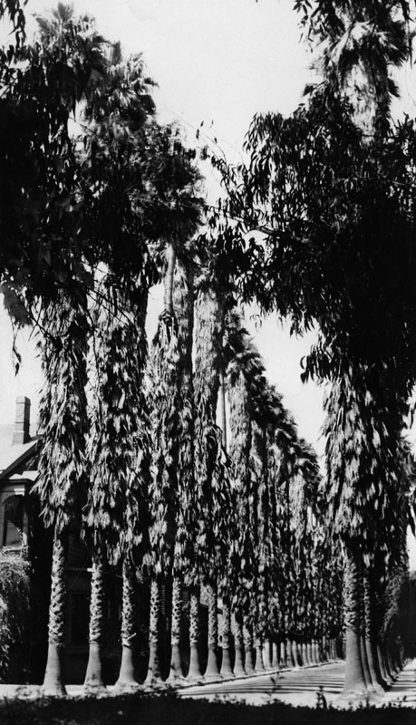 The Oldest Palm Trees in Los Angeles (5/6)