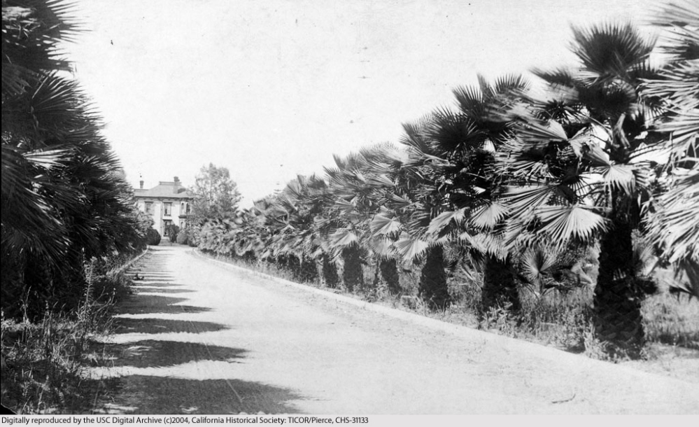 The Oldest Palm Trees in Los Angeles (2/6)